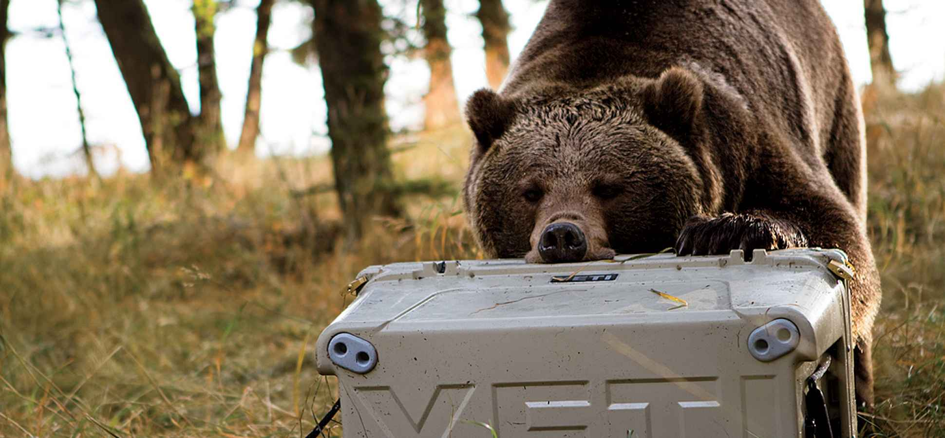 Brown bear attacking a Yeti Cooler
